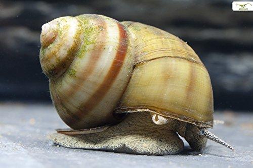 Lot de 3 escargots de bassin + 1balle Toxex NH pour l'élimination des algues filaires et feuillage, police sanitaire pour le bassin du jardin